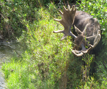 photo by Alan Ahlstrand bull moose at Snake River bridge: bull moose and bushes