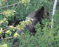 photo by Alan Ahlstrand griz eating 2010: grizzly in bushes eating service berries