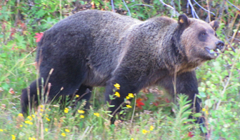 photot by Alan Ahlstrand cub of 399 September 2010: grizzly walks in wildflowers