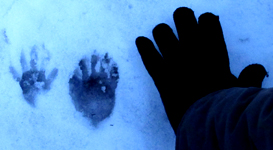 raccoon footprints in snow: raccoon footprints in snow with human hand for size comparison