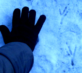 raven footprints in snow: raven footprints in snow with a human hand for size comparison