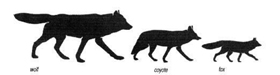wolf, coyote, fox size comparison NPS drawing: