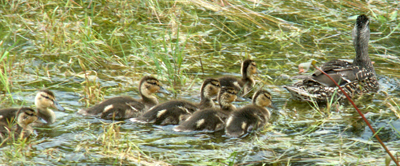 Mallard mom and seven baby ducks