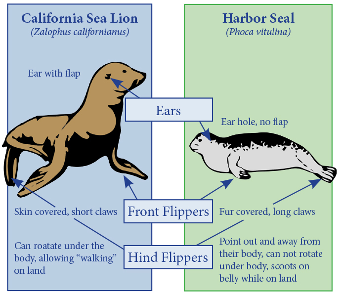 a NPS drawing of a sea lion and a seal