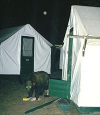 bear outside a canvas tent cabin