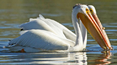 two pelicans floating next to each other - photo courtesy of NPS