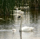 trumpeter swan and cygnet in the foreground, more of the family in the background