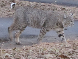 bobcat walking on a pathway