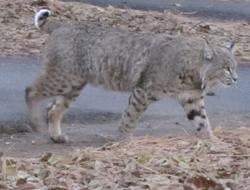 bobcat walking on a pathway