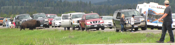 a row of cars along a highway and a bison about to pass between some of the cars. People are leaning out of their cars for photos, or are right along the roadway
