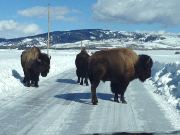 3 bison on a snowplowed road