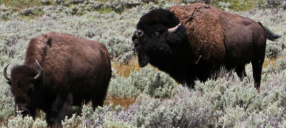 female and male bison