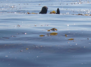 otter among kelp surfaces and looks at kayakers