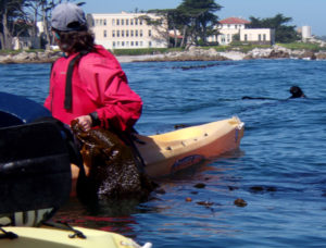 kayaker holds kelp to keep from drifting and an otter surfaces nearby