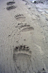 Brown bear tracks, Gates of the Arctic National Park and Preserve NPS photo