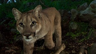 NPS photo mountain lion