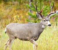 NPS photo of mule deer in tall grass