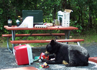 nps photo of bear eating from ice chest Kenai Fjords park