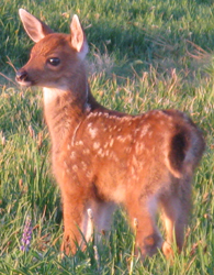 nps photo of deer fawn