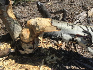 Aspen stump and tree with beaver teeth marks