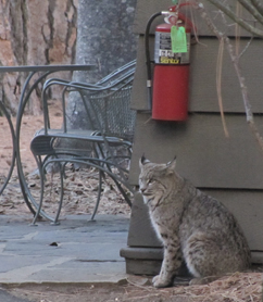 bobcat sitting outside a Ahwahnee hotel cottage room