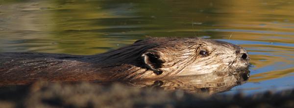 NPS photo beaver swimming