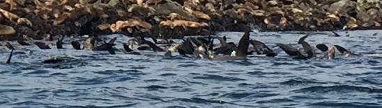 mass of sea lions in Monterey Bay