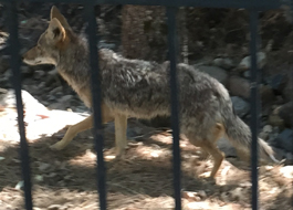coyote behind fence railings