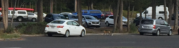 fox and parked cars