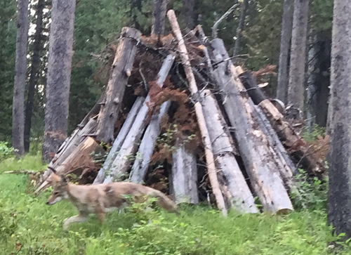 coyote and tall pile of tree trunks, branches