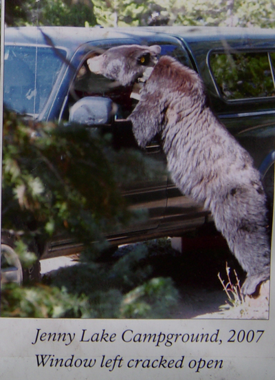 NPS photo of bear trying to get into a slightly open car window at Jenny Lake campground, Grand Teton National park