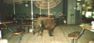 NPS photo of a bear walking through a dining area