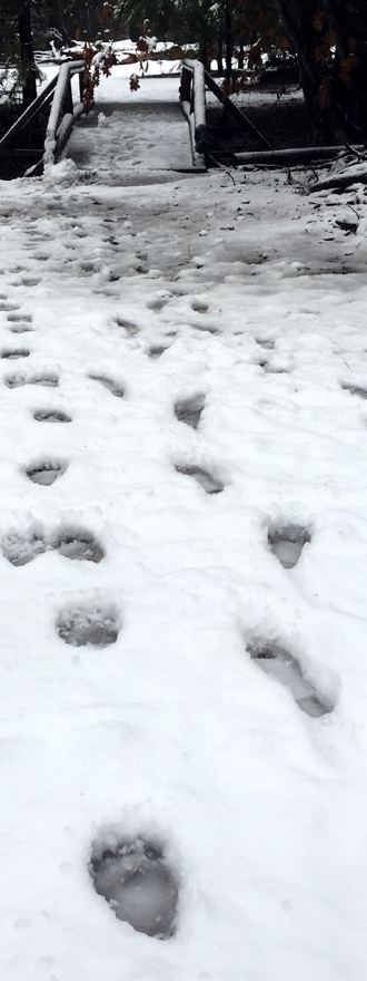 bear and human paw prints in snow
