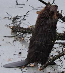 beaver standing upright