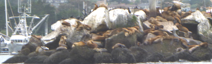 rows of sea lions of all ages on rock pier