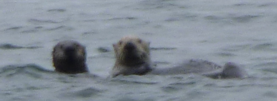 mom and baby otter at the surface of Monterey Bay