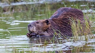 beaver photo courtesy of the NPS