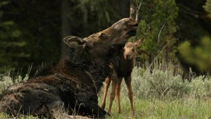 photo of cow and calf moose courtesy of NPS