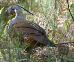 quail and baby quail in grasses