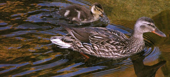 mallard and chick swimming