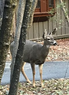 Mule deer in front of Ahwahnee cottage