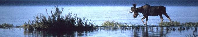 lake, moose, dark sky