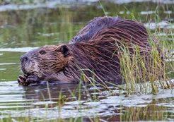 beaver nibbling