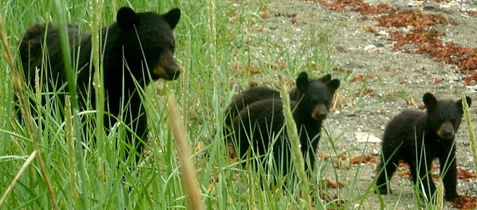 adult black bear and three small cubs