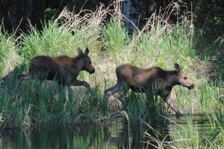 2 moose calves crossing a stream