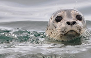 head / face of a harbor seal courtesy of NPS