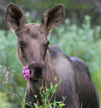 young moose with pink fireweed flowers in mouth