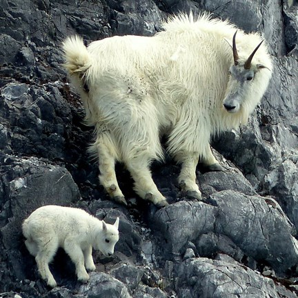 mountain goat and kid on steep rock face