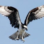 Osprey with wings wide out
