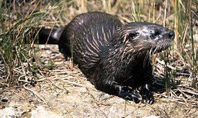 river otter on land
